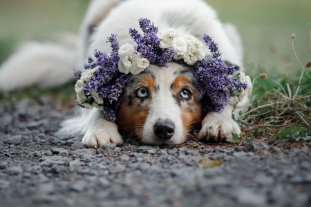 dog lies in the flower. Pet outdoors in the spring. Australian shepherd flower wreath on the dog's head Banque d'images