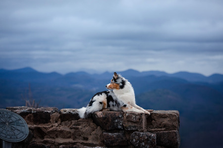 dog Australian shepherd lies on the stones. Pet at the ruins in nature. Journey, mountains, in the morning