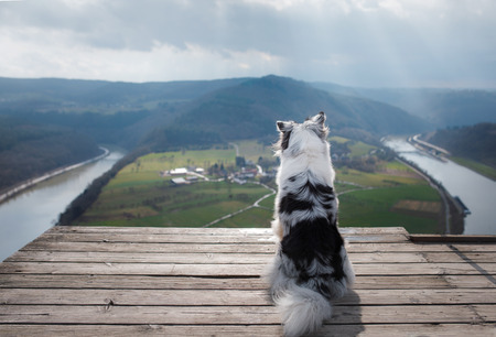 Dog Australian Shepherd on top of the mountain. Pet for a walk. Outdoors. Journey, mountains, in the morning