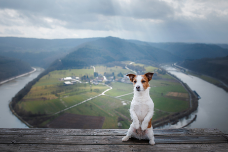 Little Jack Russell at the cliff looks at the river. Dog with a view of nature and mountains. Pet on vacation, trip, healthy lifestyle