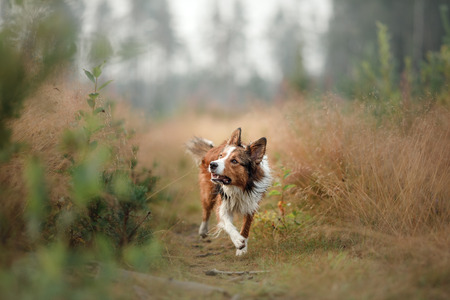 red dog running into the field. Border Collie on the nature of the morning playing. Walking with pets, active, healthy
