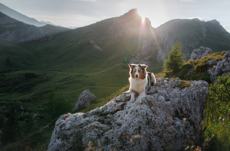 A dog in the mountains is standing on a rock and looking at nature. Travel with a pet. Happy Australian Shepherd. Healthy lifestyle, adventure Banco de Imagens - 120816909