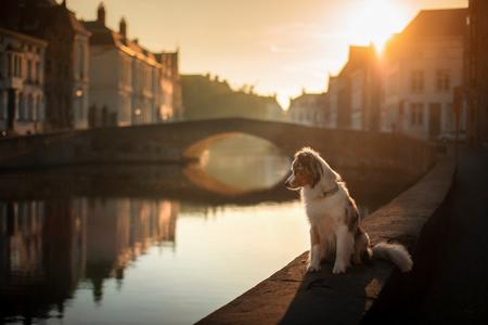 dog on the waterfront at sunrise. Pet on nature. Australian Shepherd, Aussie . Dog travel 免版税图像