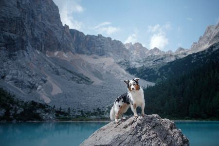 dog stands on a stone on a blue lake in the mountains. Australian shepherd, Aussie in nature. Pet Travel