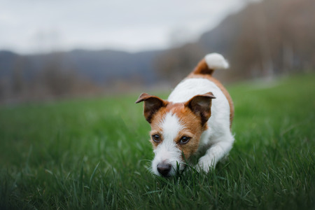 the dog runs in the grass. Pet plays in nature. Jack Russell Terrier.