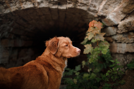 dog peeking stone wall. Travel with a pet. The ruins of the castle. Nova Scotia Duck Tolling Retriever. toller