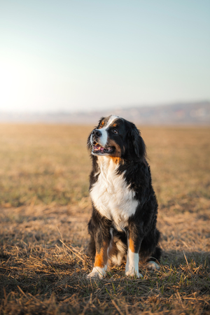 dog in nature. portrait Bernese Mountain Dog in the field for a walk.