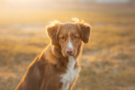 portrait of a dog on the nature at sunset. Nova Scotia Duck Tolling Retriever, Toller