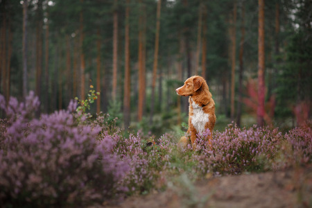 dog in heather colors. walk with a pet in the forest. Nova Scotia Duck Tolling Retriever Dog in lilac colors Imagens