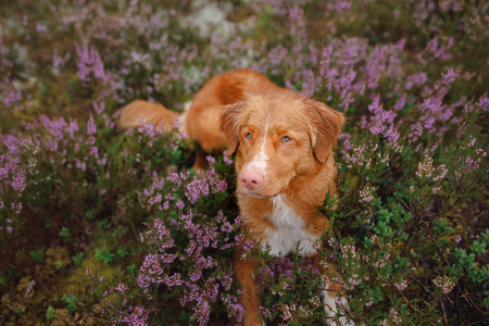 dog in heather colors. walk with a pet in the forest. Nova Scotia Duck Tolling Retriever Dog in lilac colors Stock Photo