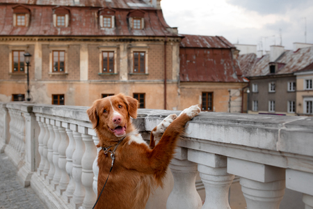 Nova Scotia Duck Tolling Retriever Dog in the city. Travel with a pet. Old town