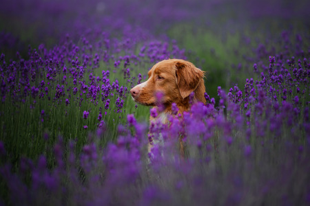 dog Nova Scotia duck tolling Retriever, toller in lavender. Pet in the summer on the nature in colors Фото со стока