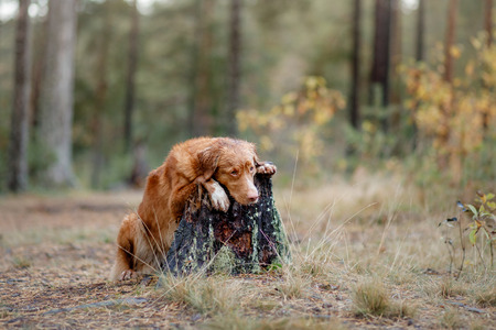 Nova Scotia Duck Tolling Retriever in the forest. Pet for a walk in nature. Hike with a dog Stock Photo