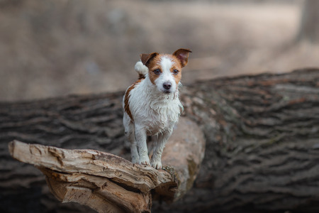 Jack Russell Terrier walks in the woods. small dog in nature