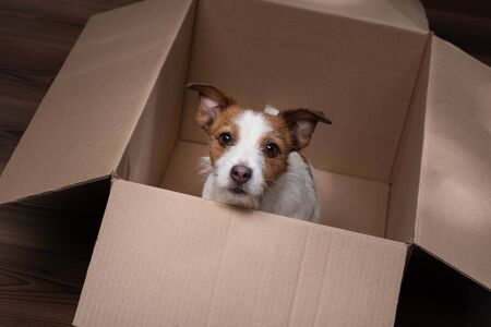 dog in a box, moving. Pet at home. Funny jack russell terrier. Mail, package, gift