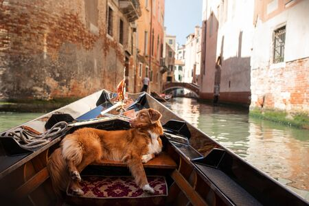 Dog in Venice on a gondola. trip with a pet. Nova Scotia Duck Tolling Retriever is traveling in an old town.