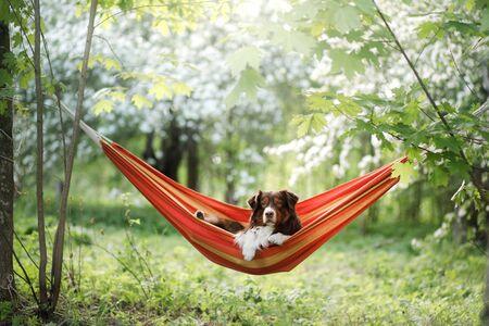 dog in hammock on the nature. Australian Shepherd is resting. Pet adventure