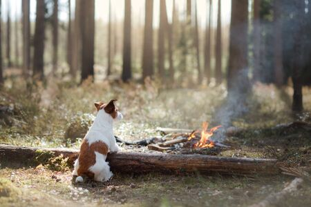 picnic with a dog by the fire. Traveling with a pet.jack russell terrier in the wood