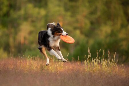the dog plays the disc. border collie for sports, catch a toy outdoors