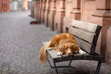 Dog on a bench in the city. Nova Scotia Duck Tolling Retriever, toller outside the home Stock Photo