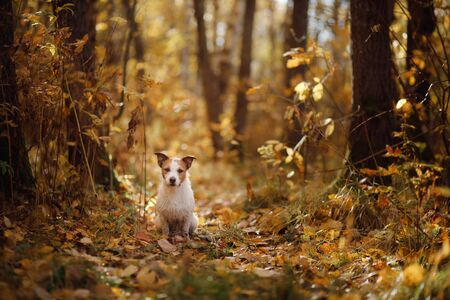 Dog in the autumn park. small Jack Russell Terrier in nature