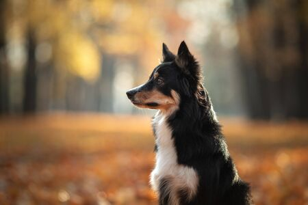 The dog on yellow leaves. Border Collie in the park. autumn mood, fall 版權商用圖片