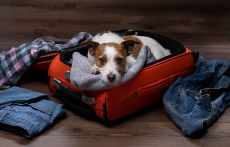 dog travel. Jack Russell Terrier with a suitcase, going on a trip. Scattered things