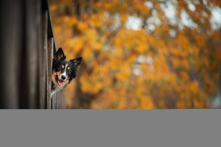 the dog peeps out. Border Collie in the autumn park