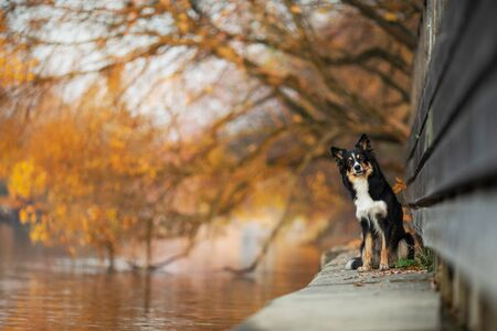 dog is sitting on the promenade. Border Collie in nature park . Autumn mood