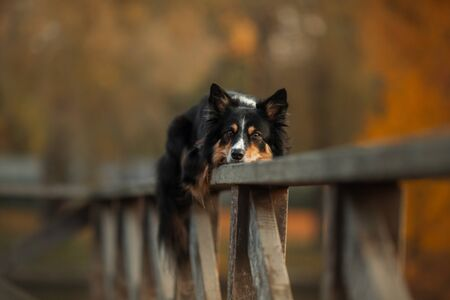 The dog lies on a wooden fence. Border Collie in the fall 스톡 콘텐츠