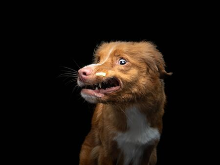 the dog catches food. Pet in motion. Nova Scotia Duck Tolling Retriever on a black background.