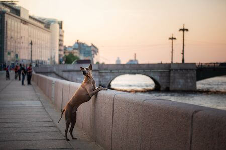 dog in the city. Pet for a walk. Thai ridgeback put his paws on the parapet. urban architecture, embankment, St. Petersburg