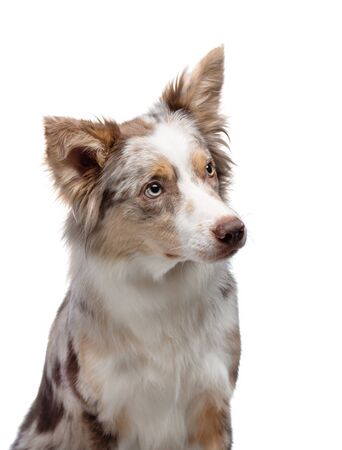 the dog is sitting. Border Collie in the studio. Animal on a white background. Happy pet