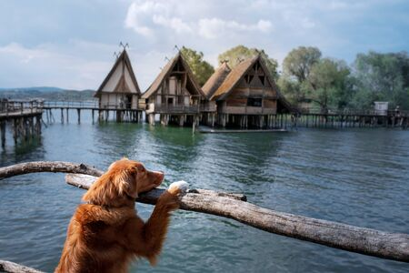 dog at the wooden house on the sea. Traveling with a pet. vacation trip. Nova Scotia Duck Tolling Retriever in nature Foto de archivo