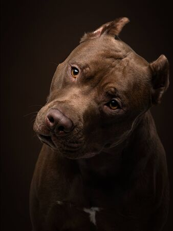 funny happy muzzle dog on a dark background. Pit bull terrier in the studio. Cute pet