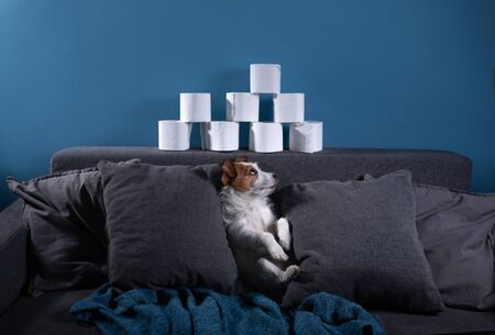 Dog with toilet paper. Jack Russell Terrier is surprised. Panic, virus, pandemic, isolation