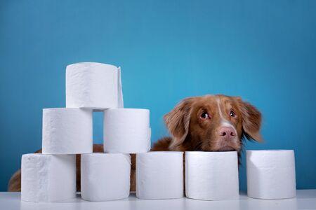Dog with toilet paper. Nova Scotia Duck Tolling Retriever is surprised. Panic, virus, pandemic