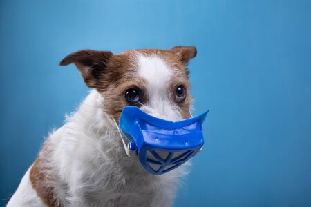 dog in a protective medical mask. Virus, panic, security. Funny jack russell. Health Isolation