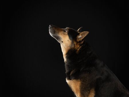 mix dog on a dark background. Beautiful pet. Animals in the studio.