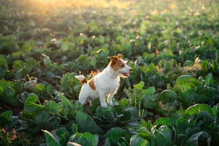 dog on the field in cabbage. Funny jack russell terrier. Sunny field of vegetables