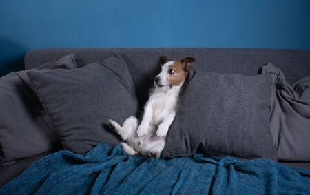 quarantined dog. Jack Russell Terrier is lying on the couch. Resting. funny pet, gray sofa on a background of blue wall