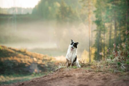 dog in the fog. Pet on a walk in nature. Border Collie in a field, Hill