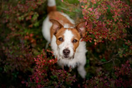 Cute dog top view. Funny jack russell terrier in the forest, flowers Standard-Bild
