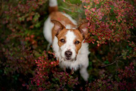Vue de dessus de chien mignon. Jack russell terrier drôle dans la forêt, fleurs Banque d'images