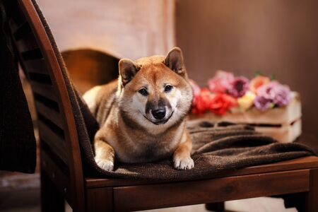 dog at home on the background of the fireplace. Shiba Inu in the interior. Home furnishings. Pet inside. self isolation.