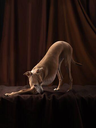 dog on a brown drapery background. graceful Italian greyhound. Studio photos of a pet. Stock Photo