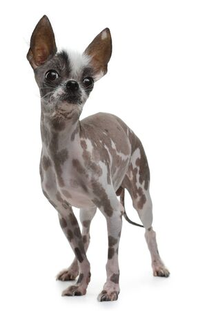funny ridiculous dog on a white background. A mix of Chinese crested. Cool pet