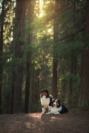 two dogs in the fabulous forest. Pet in nature at sunset. Tricolor Australian Shepherd Dog outdoors