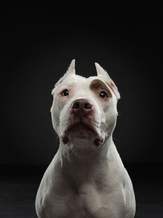 portrait of a dog on a dark background. American pit bull terrier. Beautiful pet on black in studio