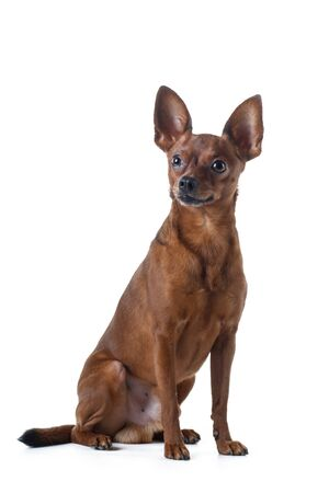 dog on a white background. smoothly woolly Russian toy terrier. in a studio. Photo of a pet for design.